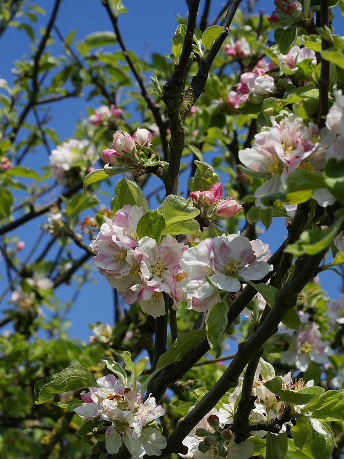Espoon rakkauden puistoon rakastavaiset voivat istuttaa vaikkapa omenapuun. (Kuva Hans Hillewaert)