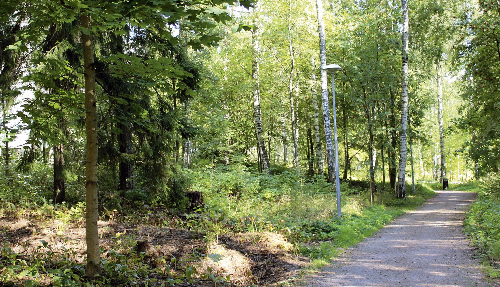 Valoisa koivu- ja mäntyvaltainen metsä tulee muuttumaan, koska kehityskelpoiset taimet ovat pääasiassa vaahteraa.
