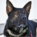 Hellraiser's Nico on Jekun kennelnimi, mutta koira sai  Jekku-nimensä jo  ihan pentuna.